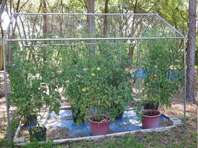 Galvanized chicken wire and steel pipes are l<em></em>inked together to be a tomato greenhouse.