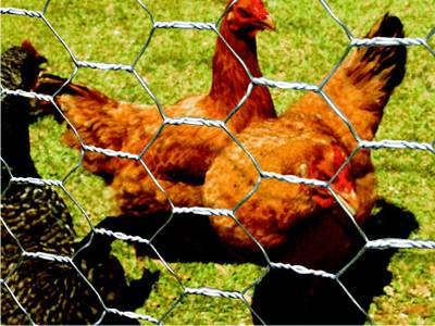 Chicken wire fence protects chickens on the grassland
