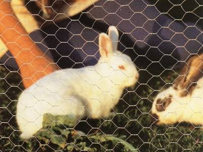 Two rabbits are eating in rabbit wire fencing