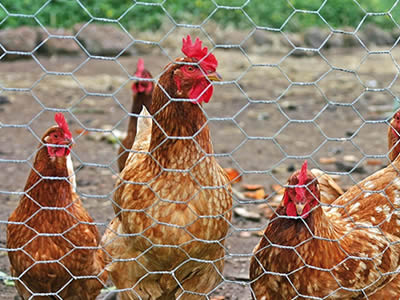 Chicken wire fence used to keep chickens