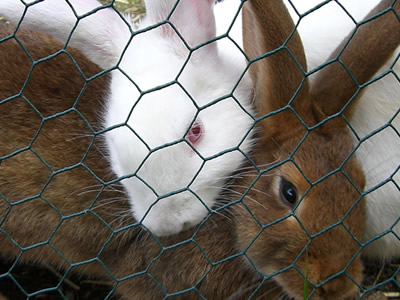 A white rabbit and a grey rabbit in a green PVC coated rabbit fencing